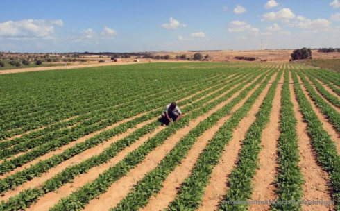 palestinian-farmer-spinach-crop-1