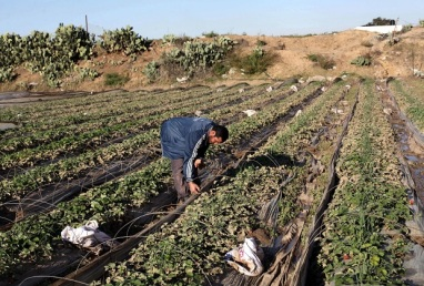 A Palestinian farmer collects damaged strawberries at his field in Beit Lahia